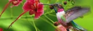 colibri e fiori
